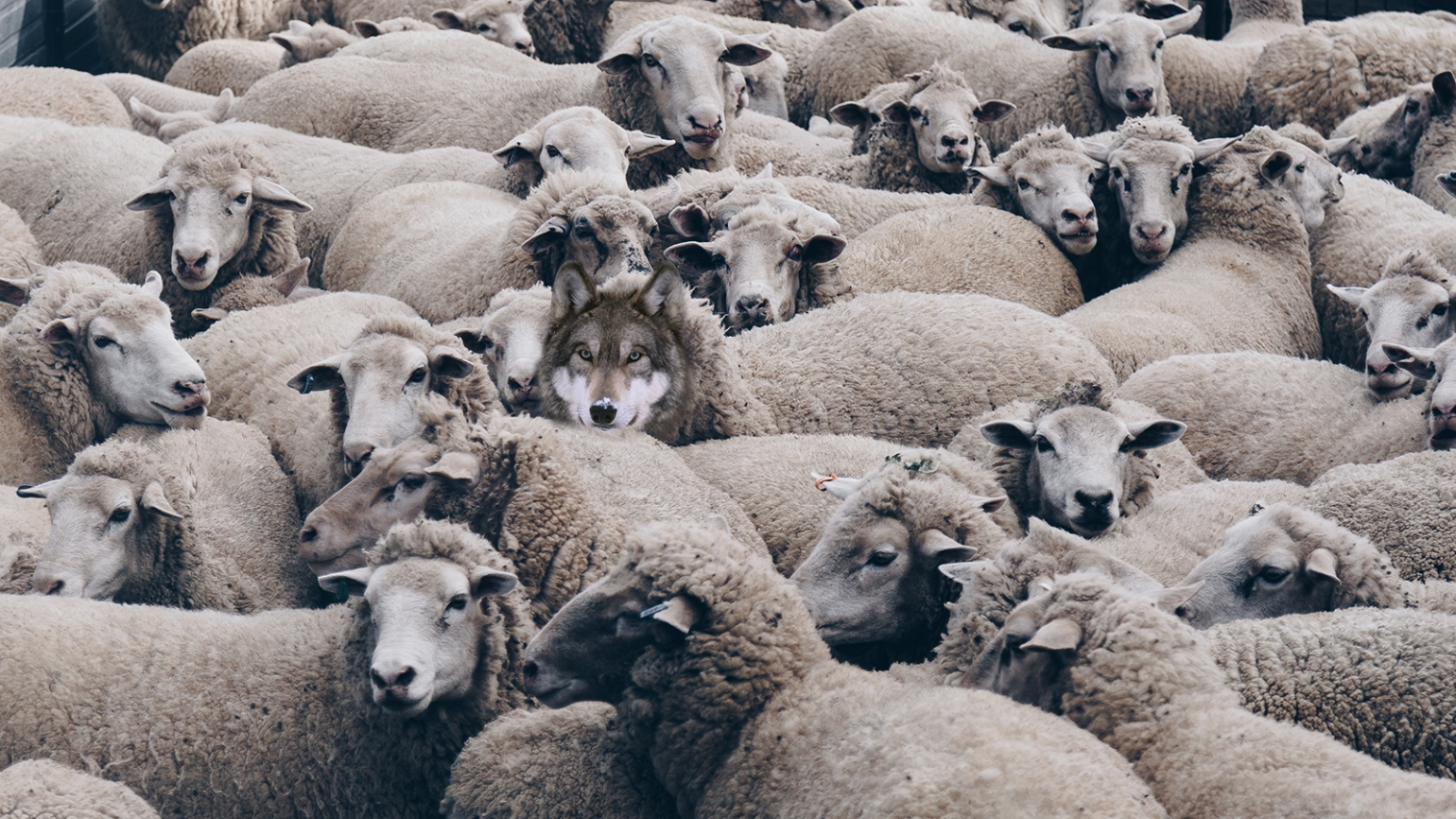 sheeps-and-wolf
